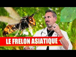 SALES BÊTES #2 : LE FRELON ASIATIQUE