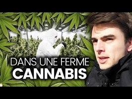 Immersion dans une ferme de cannabis (reportage)
